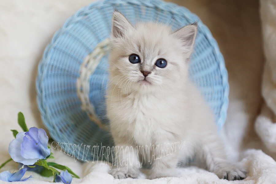 Available Neva masquerade kitten with incredible blue eyes