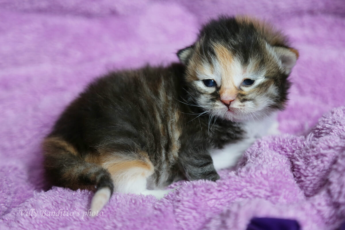 Available wonderful Siberian tortie kitten from cattery
