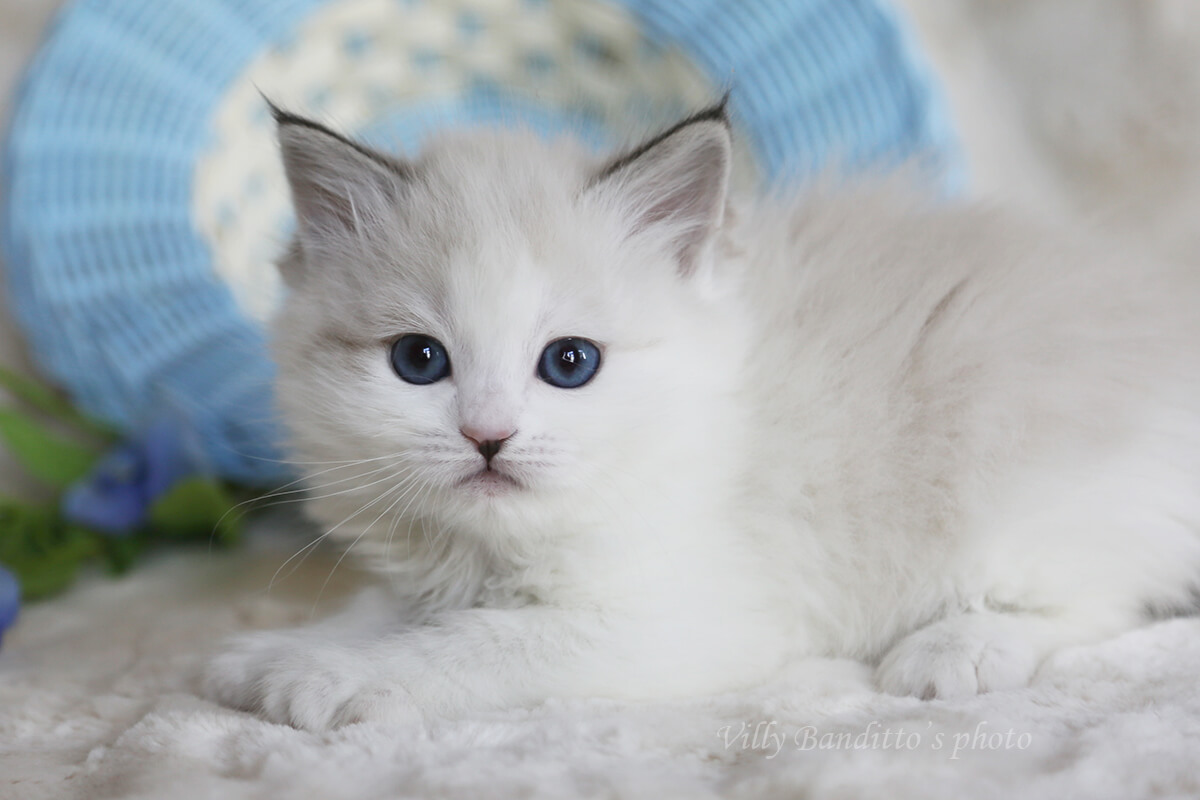 Buy Siberian Neva masquerade kitten with blue eyes