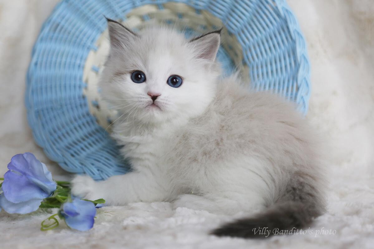 Buy an amazing blue-eyed Neva masquerade seal tabby point kitten