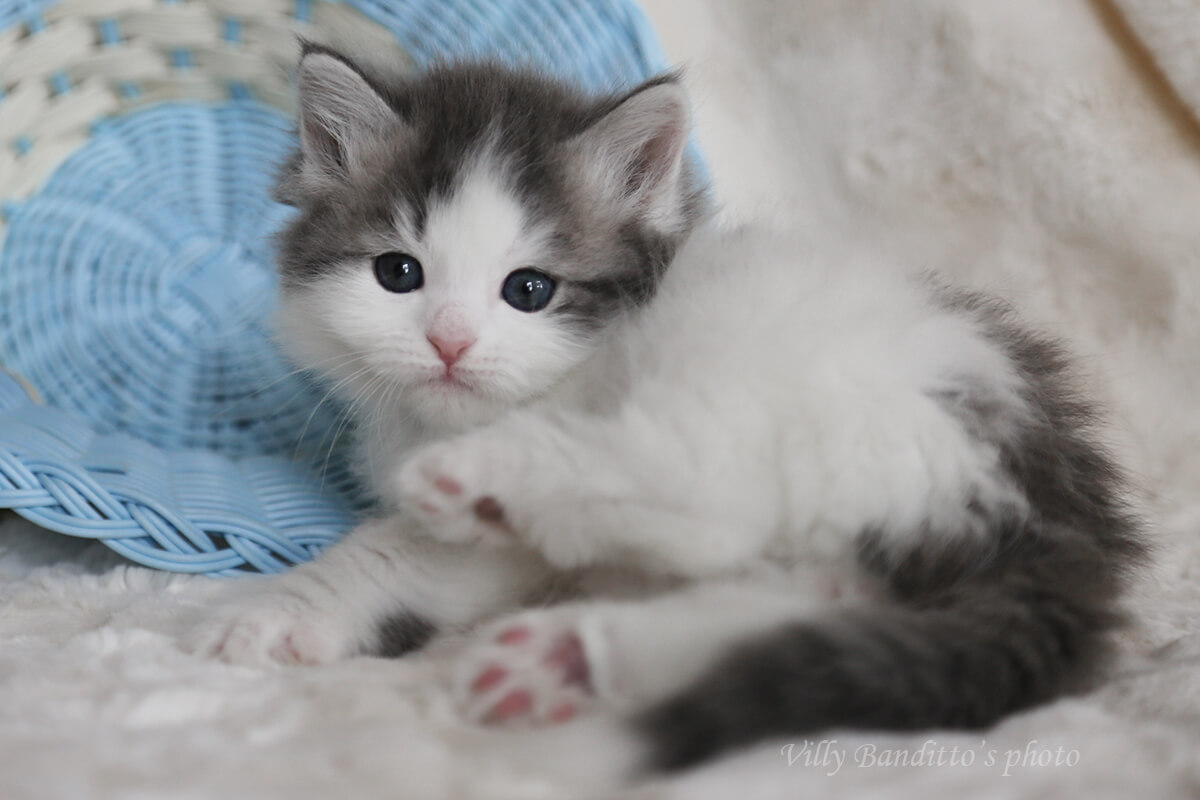 Available charismaric Siberian blue tabby bicolor kitten from cattery