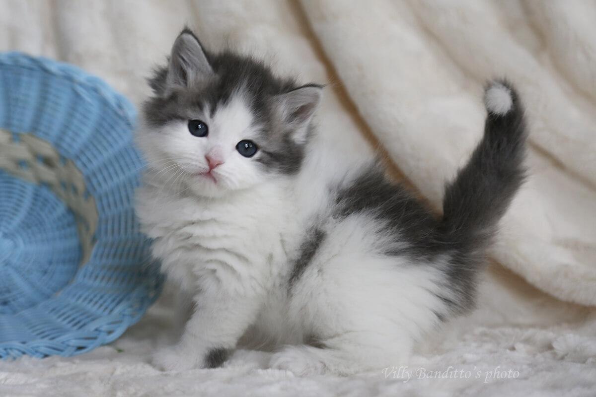 Siberian kitten for sale from cattery