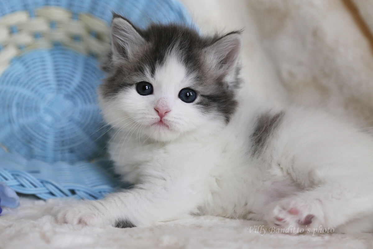 Available Siberian kitten of the color blue harlequin