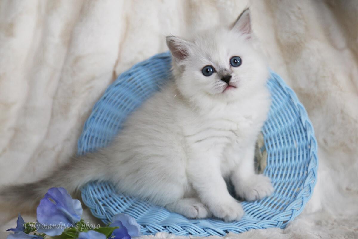 Available blue silver tabby point Neva masquerade kitten