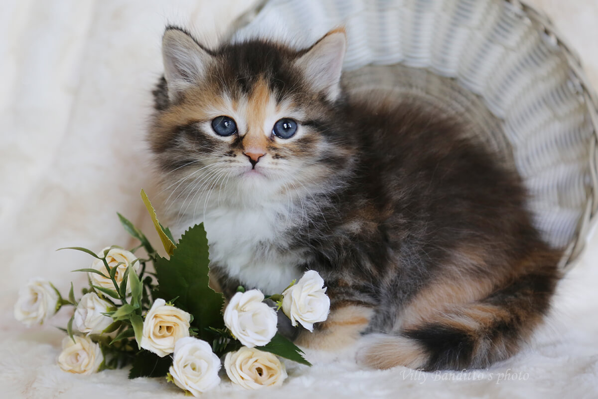 Siberian kittens from Russia
