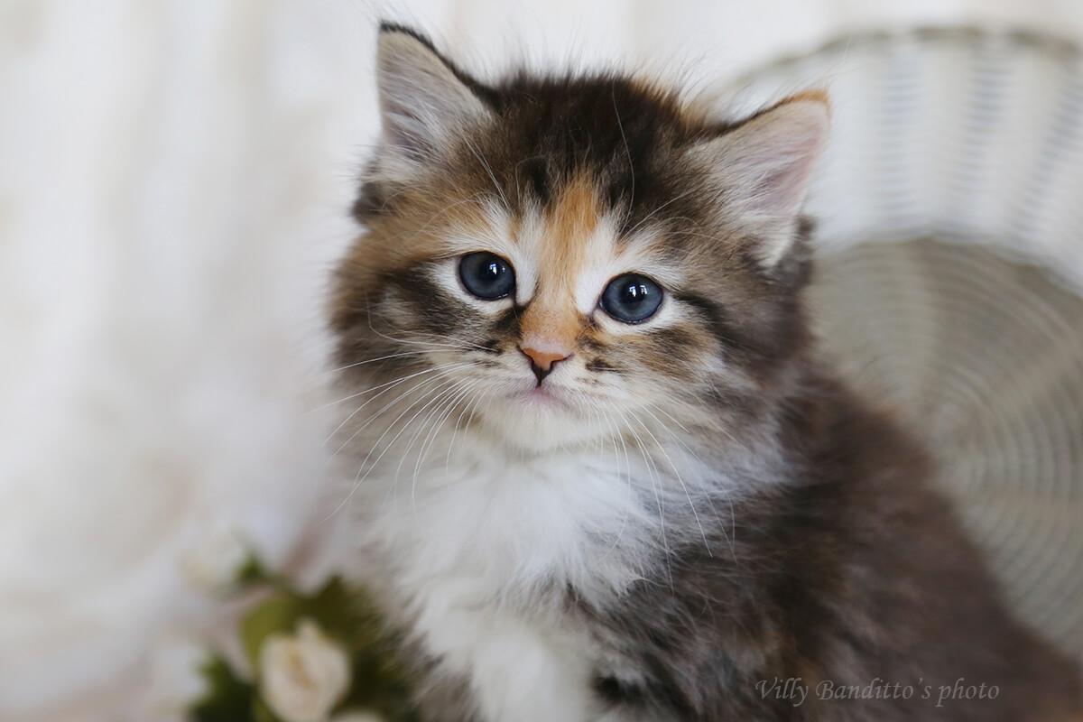 Buy a Siberian torti kitten with white