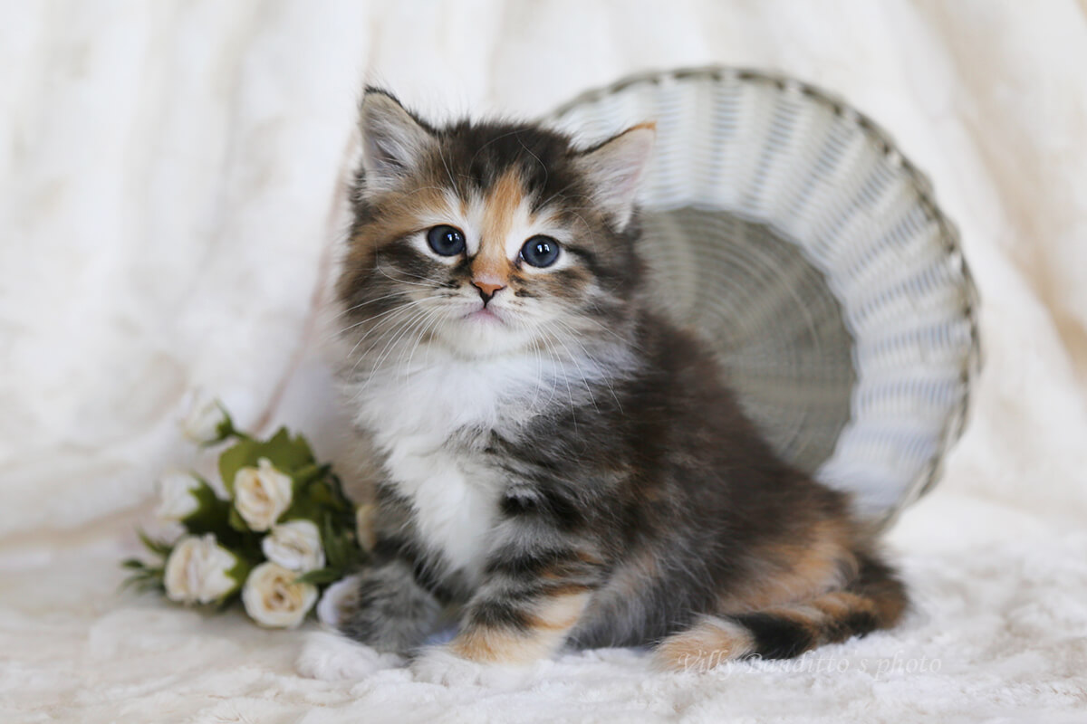 Very beautiful Siberian kitten for sale - sharming girl with very bright tortie color