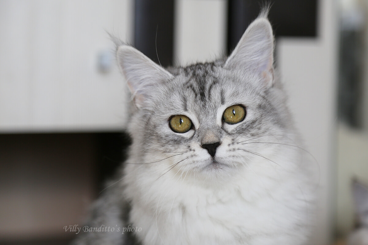 Available Siberian traditional kitten from Russia