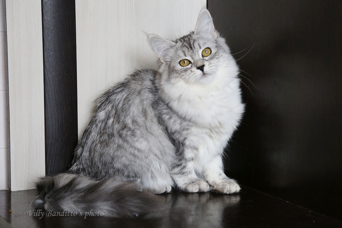 Excellent silver spotted Siberian kitten for sale