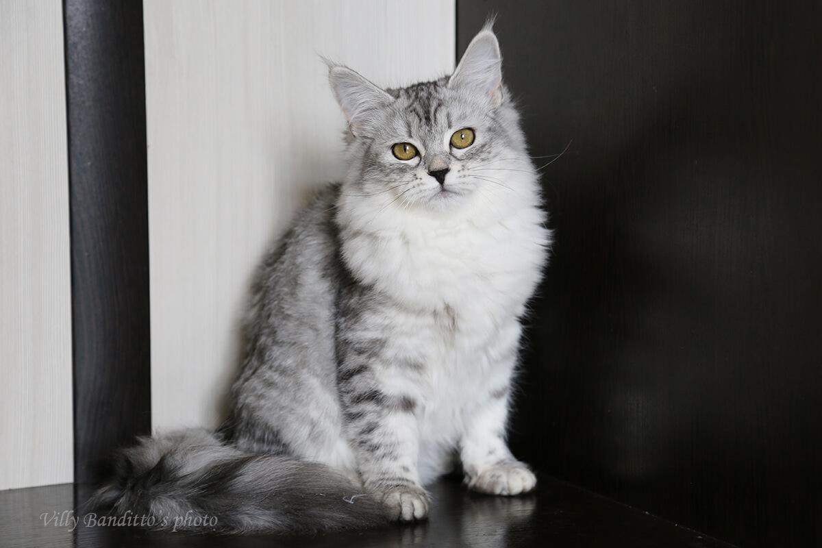 Buy Siberian silver kitten