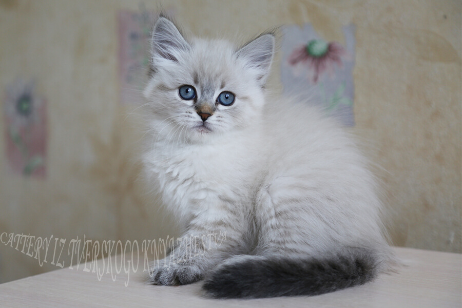 Available Neva masquerade kitten for show and breeding from cattery in Russia