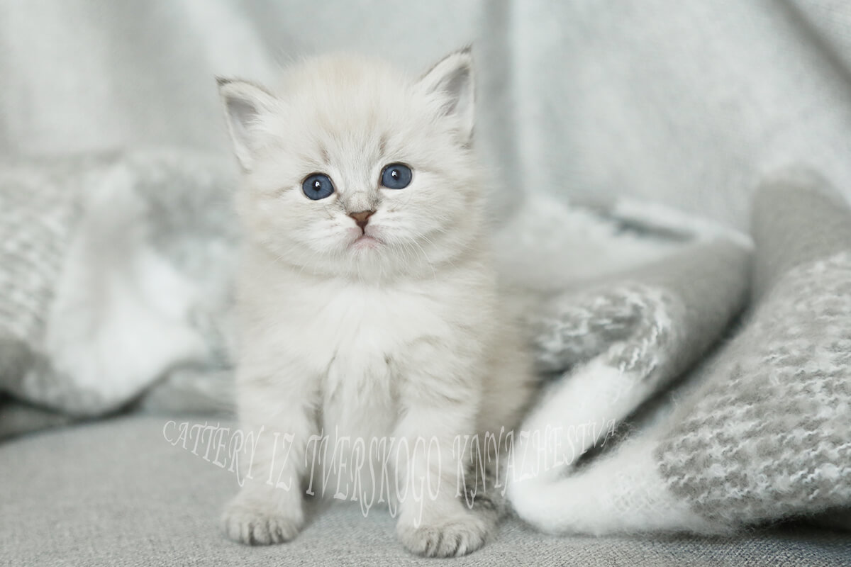 Available blue tabby point Neva masquerade kitten