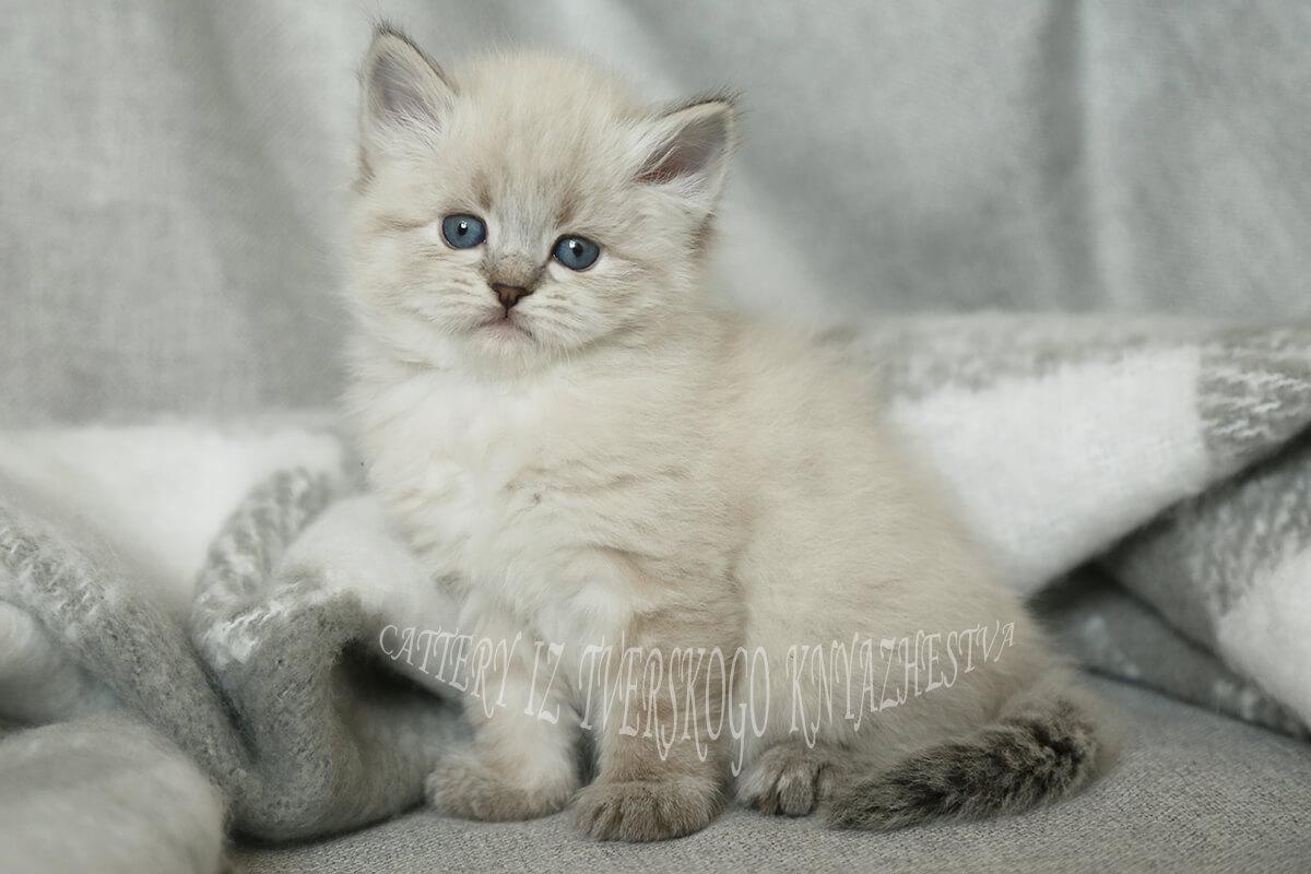 Kaufen Sibirische Neva Masquarade Kätzchen