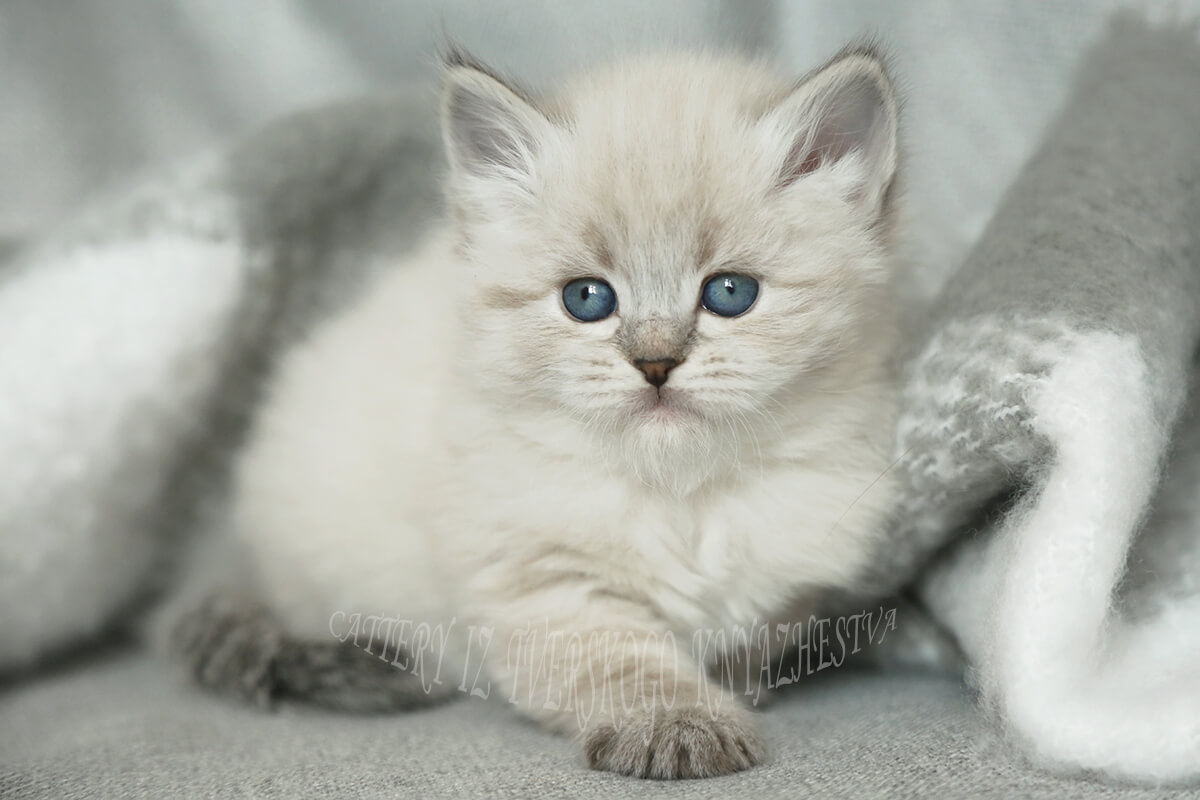 Neva masquerade kitten for sale from cattery Iz Tverskogo Knyazhestva