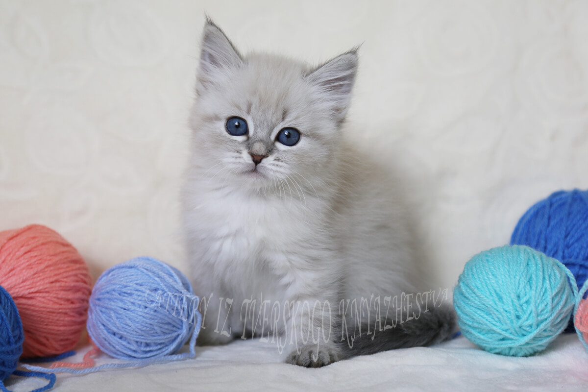 Blue-eyed Neva masquerade kitten for sale - charming tender girl with sweet character