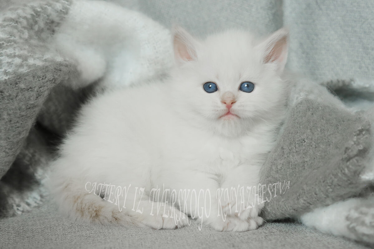 Available Neva masquerade kitten from Russia