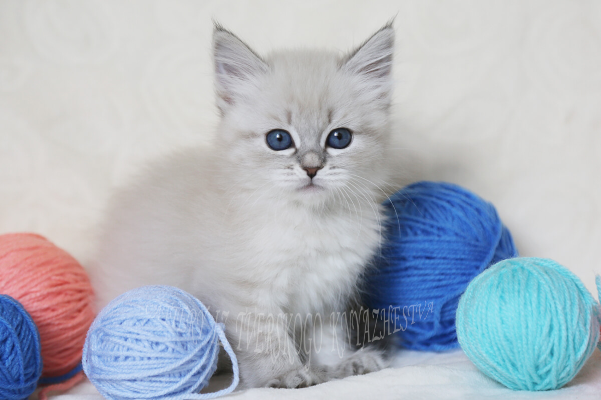 Sweet Neva masquerade kitten for sale - blue tabby point girl with fantastic blue eyes