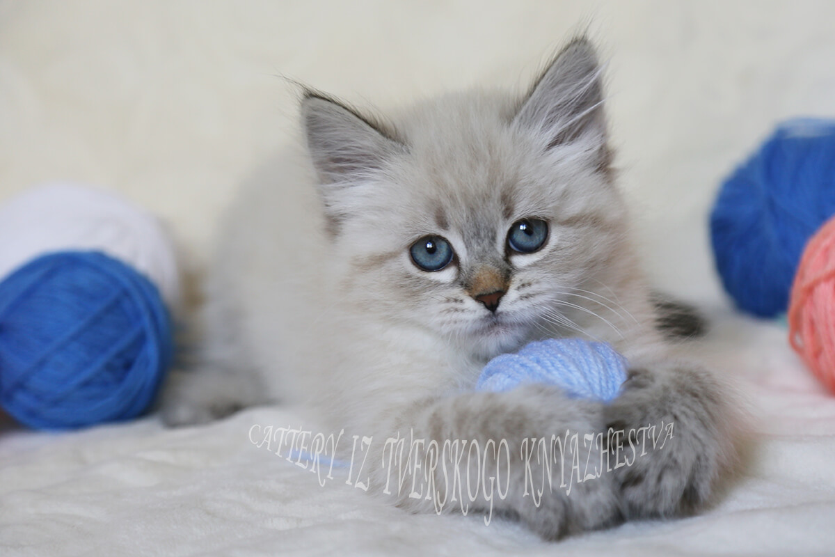 Lovely Siberian kitten for sale, seal tabby point Neva masquerade girl