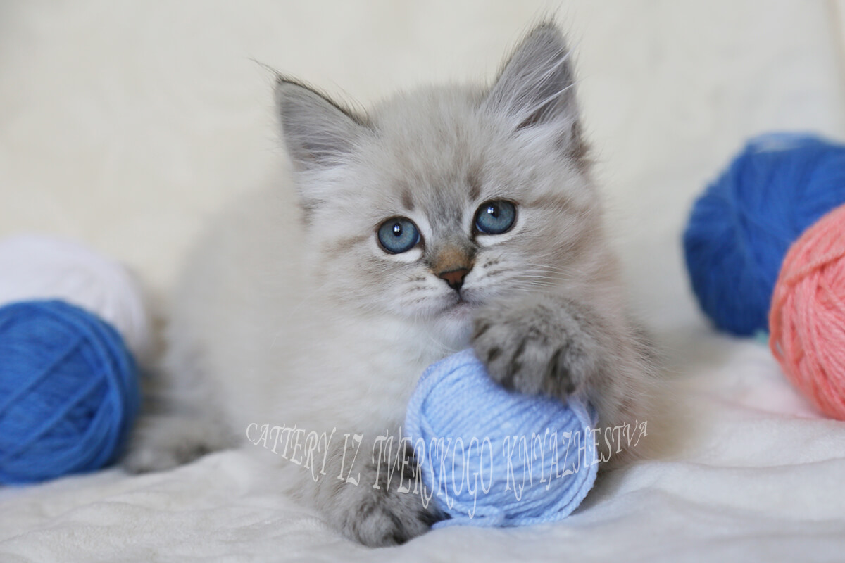 Available Siberian kitten for breeding - seal tabby point Neva masquerade girl in excellent breeding type