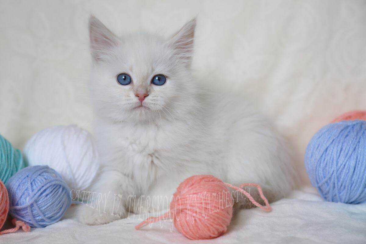 Neva masquerade kitten for sale - charming blue-eyed cream tabby point Prince, excellent choice for show and breeding