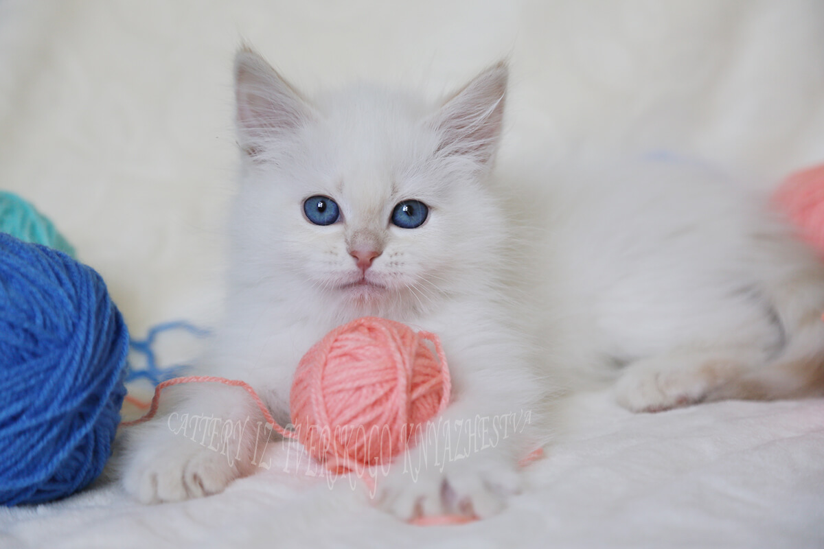 Buy Neva masquerade kitten cream tabby point color in excellent breed type with fantastic blue eyes - pretty rare bright for this light color