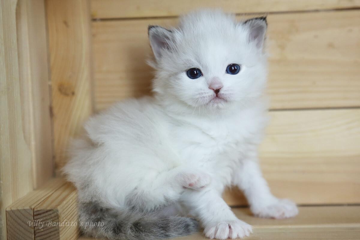 Available Neva masquerade kitten from cattery