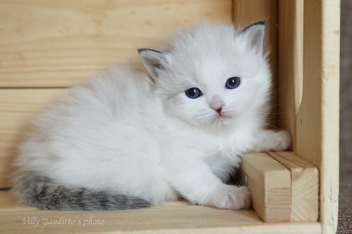 Verfügbar Neva maskerade Kätzchen aus cattery