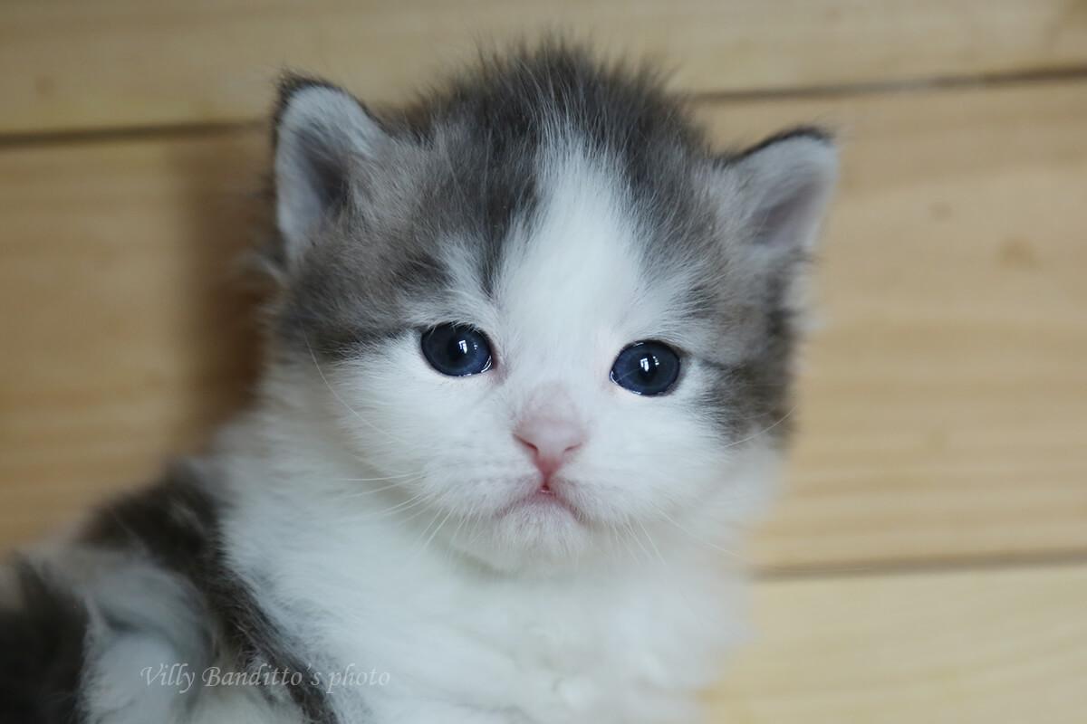 Erhältlich Sibirische traditionelle Blaue bicolor Kätzchen zum Verkauf