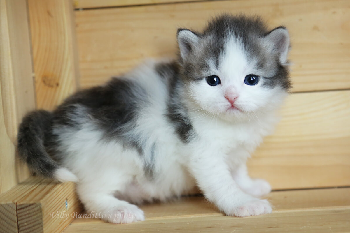 Available Siberian traditional blue bicolor kitten for sale