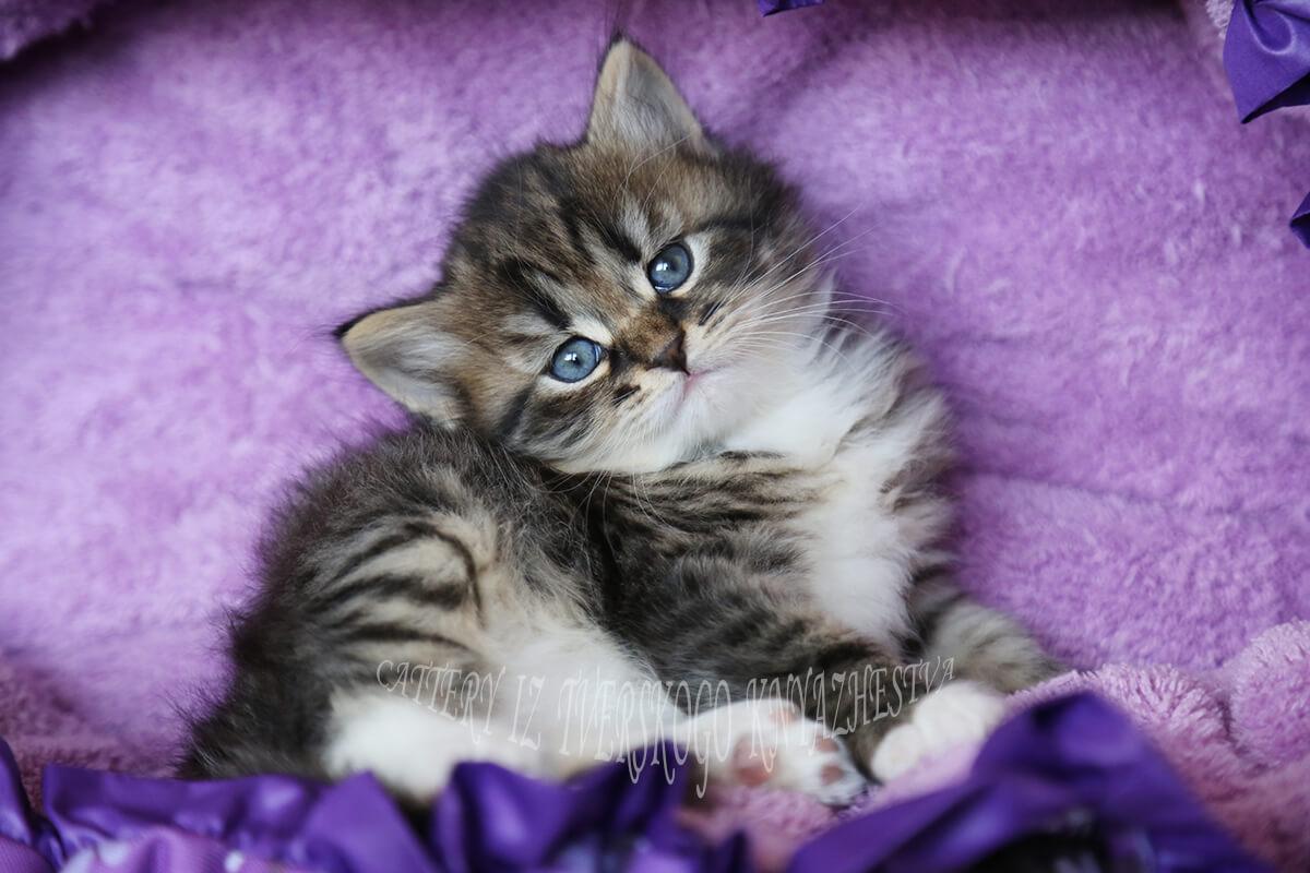 Traditional Siberian kitten for sale