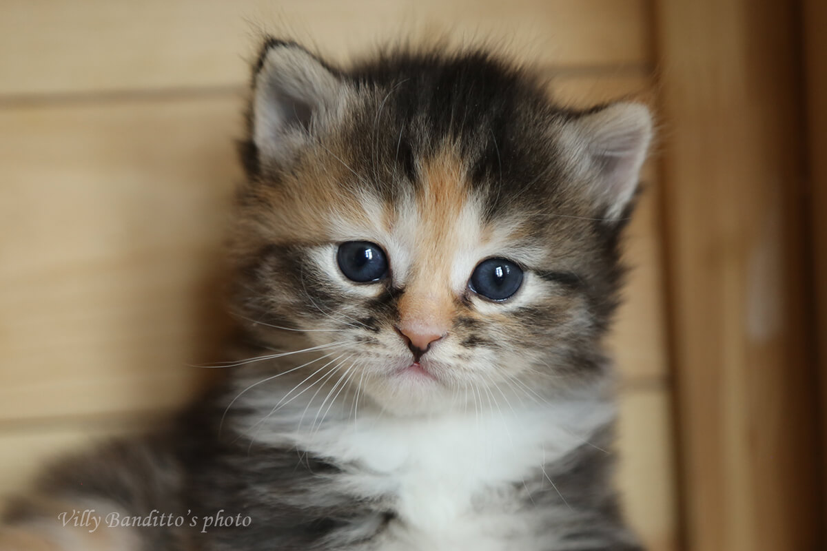 Fantastically bright tortie Siberian kitten for sale charming girl with sweet temperament
