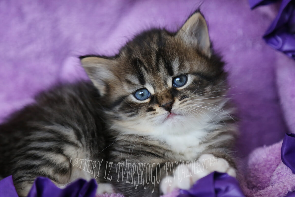 Available Siberian kitten of traditional color