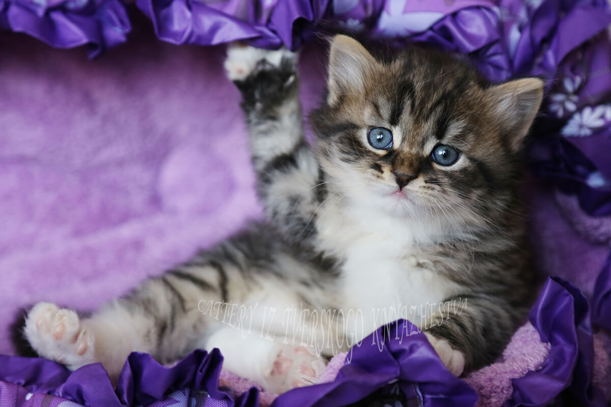 Buy a traditional Siberian kitten
