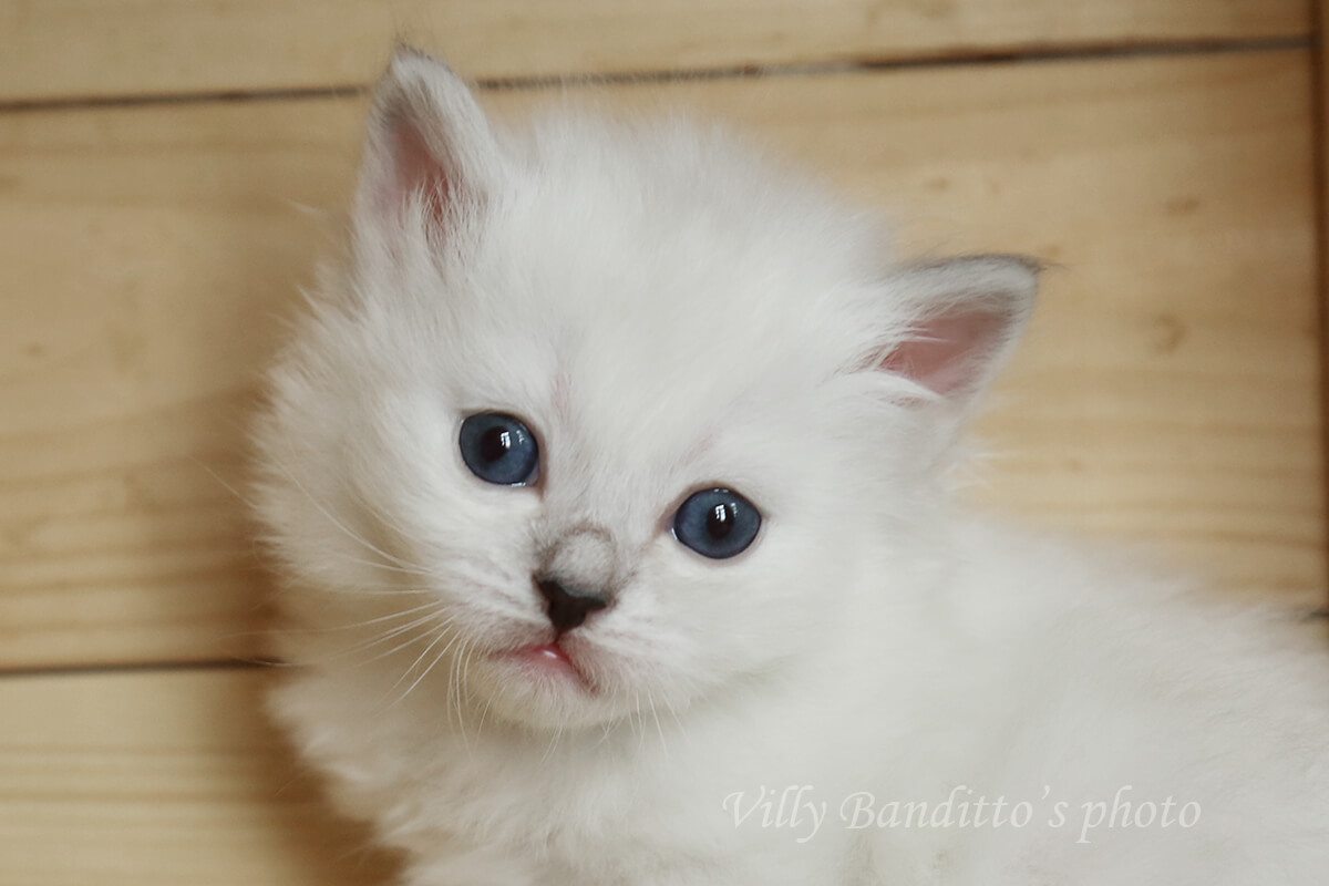 Available Neva masquerade kitten from cattery LyuMur