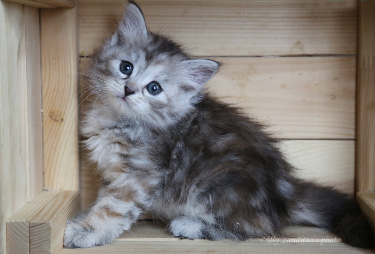 Buy beautiful silver tortie Siberian kitten
