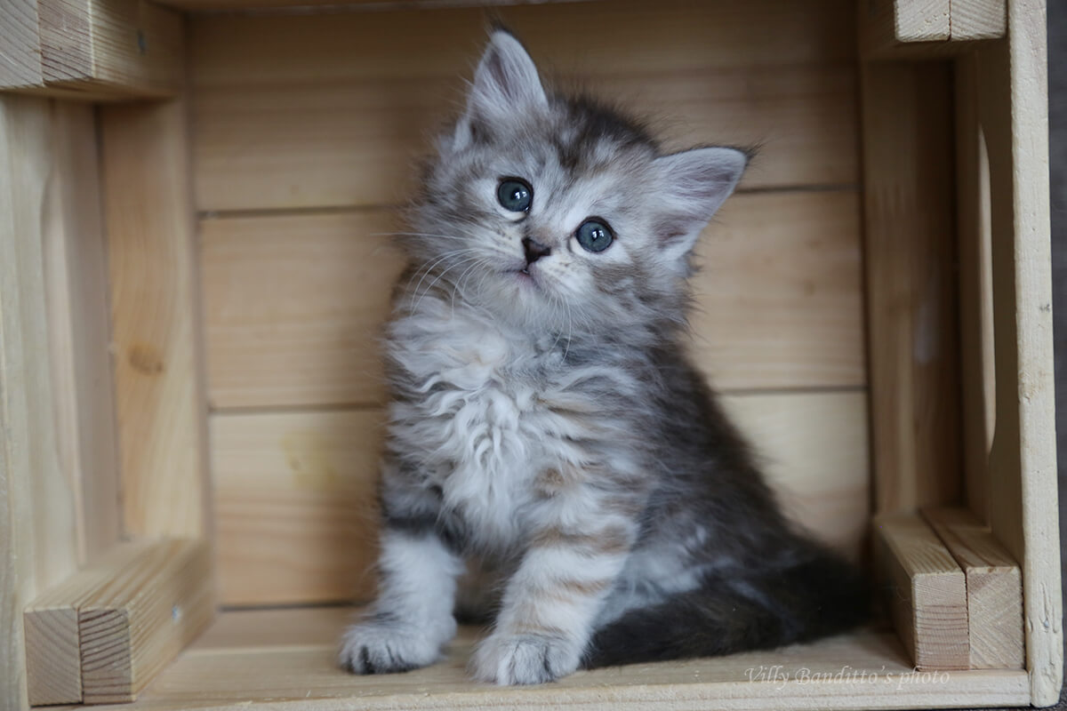 Siberian traditional kitten for sale from cattery LyuMur