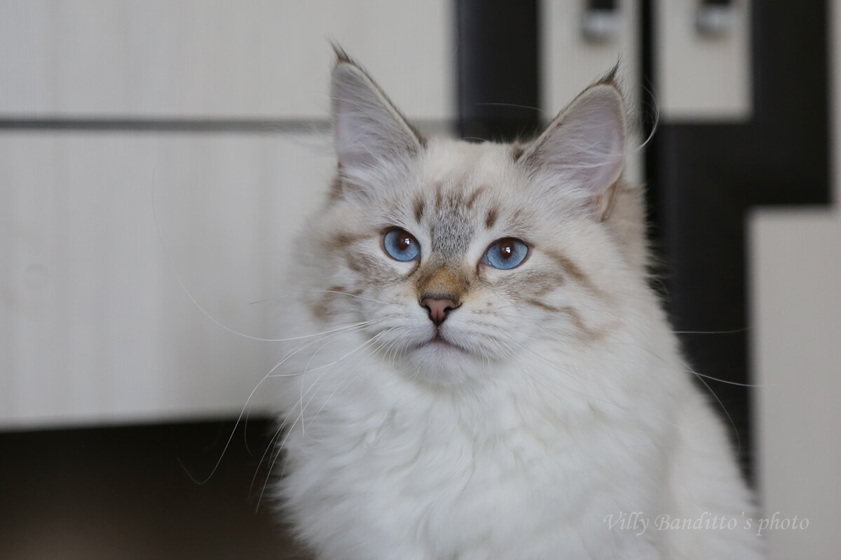 Available Neva masquerade kitten from Siberian cattery in Russia