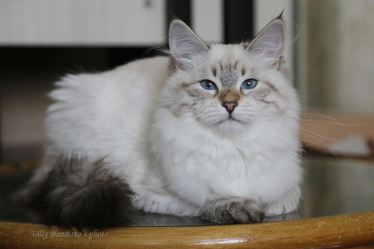 Neva masquerade kitten for sale from cattery LyuMur