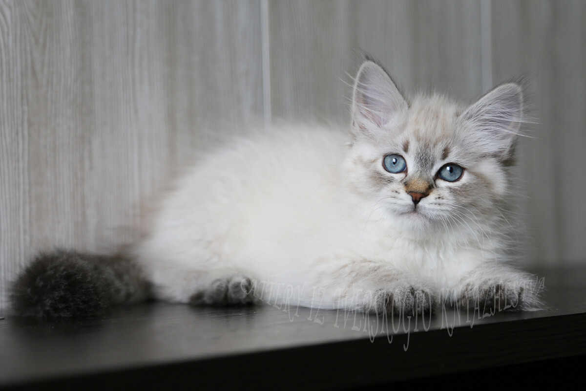 Siberian colorpoint kitten for sale - beautiful girl with strong and powerful body, excellent texture of coat and friendly and affectionate temperament