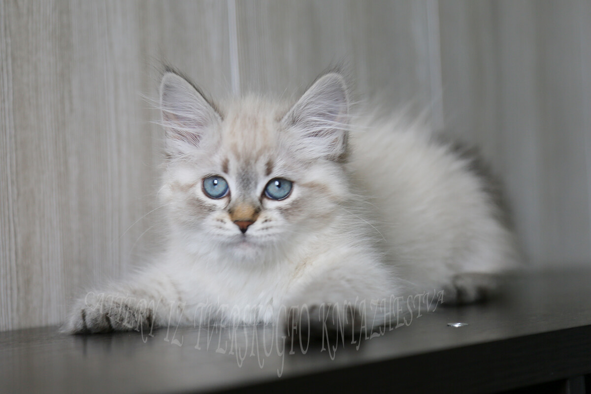 Siberian kitten for sale - charming young Neva masquerade Princess with excellent breed data