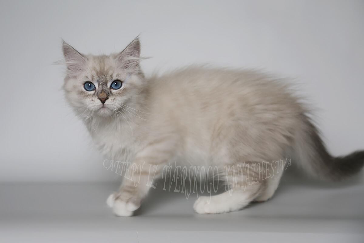 Neva masquerade kitten of the silver color