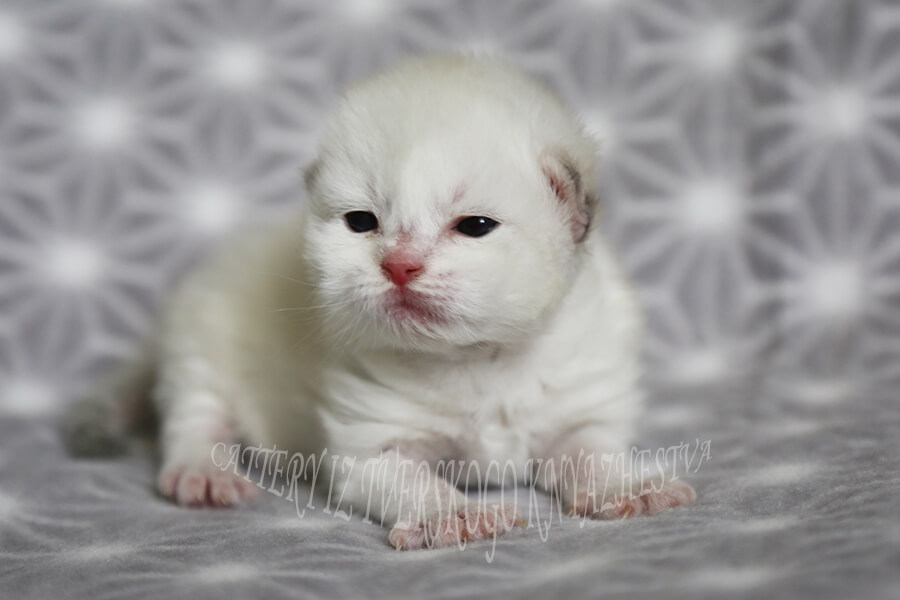 Beautiful Siberian kitten for sale - black golden tabby Neva masquerade boy, sweet baby with pink nose and blue eyes