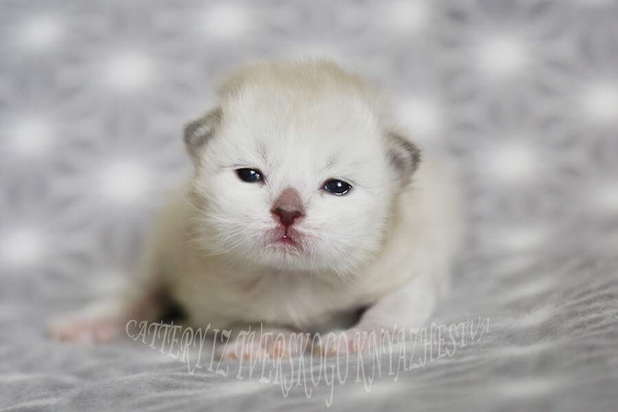 Available Siberian kitten - charming Neva masquerade young gentleman of cream tabby point color with incredible blue eyes