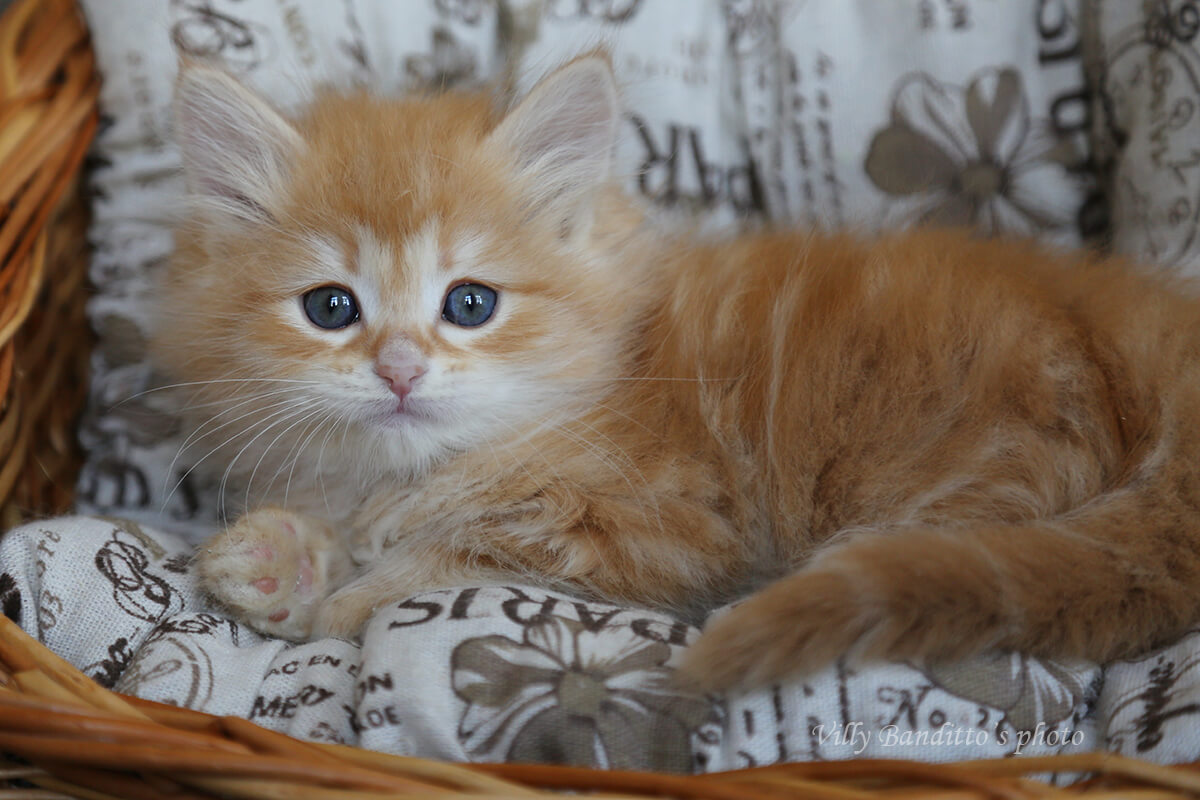 buy a red Siberian cat