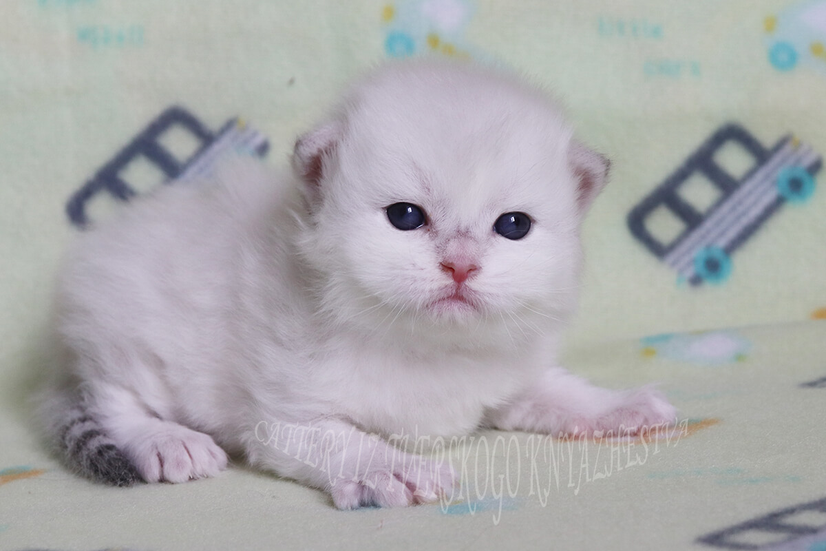 Siberian kitten is available for you - cute Neva masquerade boy with very strong body, excellent texture of coat and beautiful blue eyes