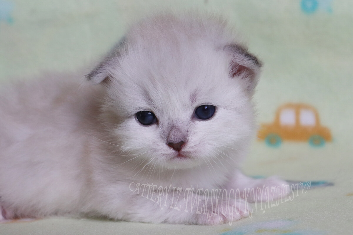 Beautiful Siberian kitten for sale, seal tabby point Neva masquerade boy with wonderful blue eyes