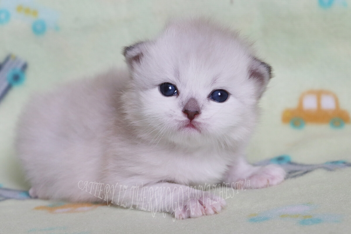 Available Siberian Neva masquerade kitten - strong and powerful boy