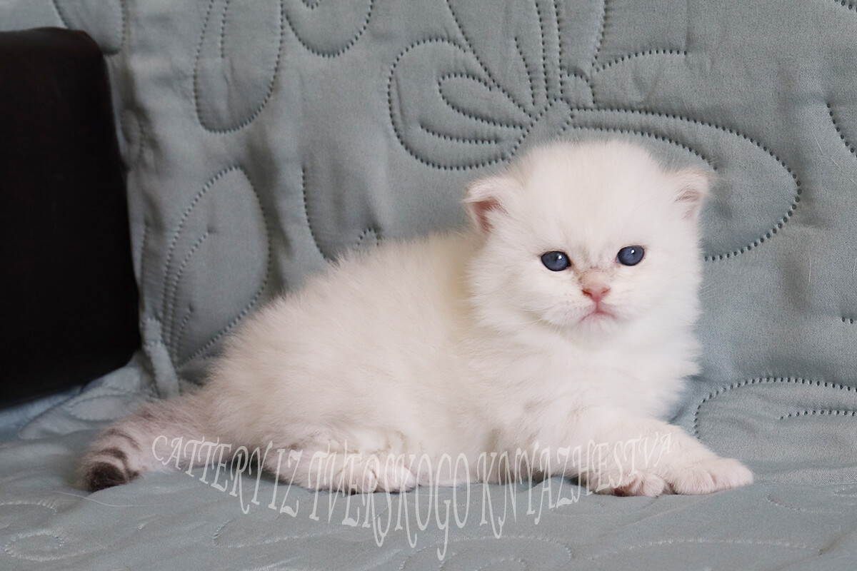 For sale Neva masquerade kitten - large strong boy of rare golden color. Very beautiful baby with excellent shapeand size of head and excellent gold
