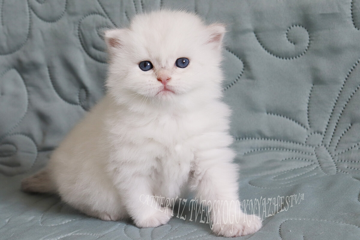 Available Neva masquerade kitten of rare golden color - very beautiful strong powerful body, snow-white coat and black paws and tail
