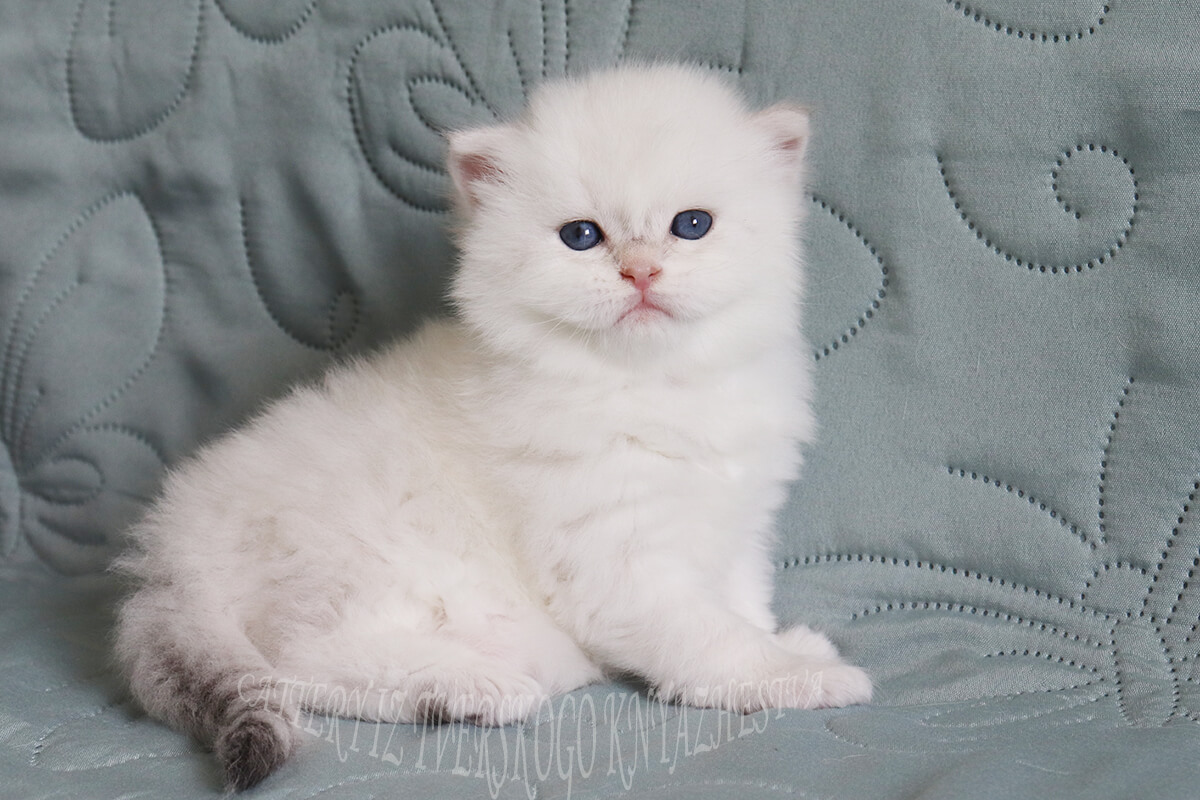 Available Siberian kitten for breeding and show of rare golden Neva masquerade color